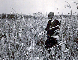 Checking dry corn crop in the 1930s drought